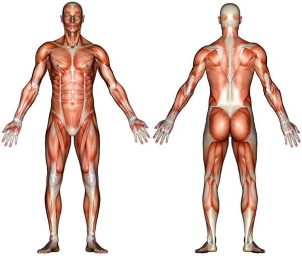 【人体肌肉】人体肌肉图解_解剖图_分布图_锻炼方法图解