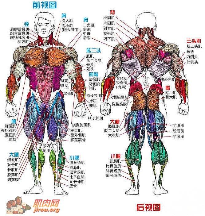 身体肌肉图_健身肌肉各部位名称-各个部位肌肉/肌肉部位名称/小儿肌肉注射 ...