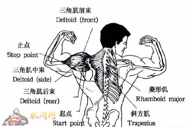三角肌锻炼_了解三角肌前束,中束,后束的位置和锻炼方法