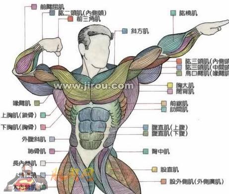 手臂解剖结构图片大全