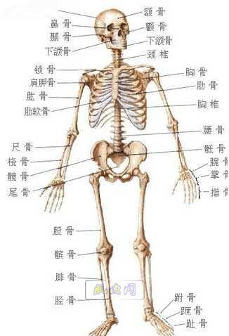 人体骨骼简易手绘图